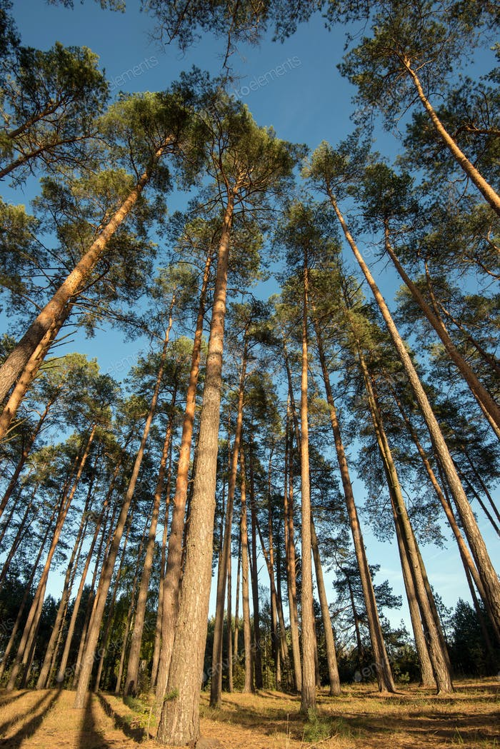 Wide angle shot of some pine trees towering up