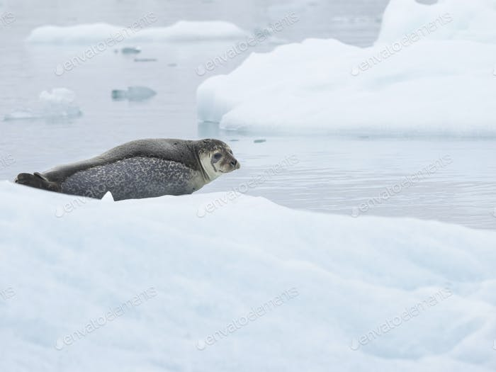 Seal on an ice floe on the Glacial lake on the edge of Vatnajokull National Park.