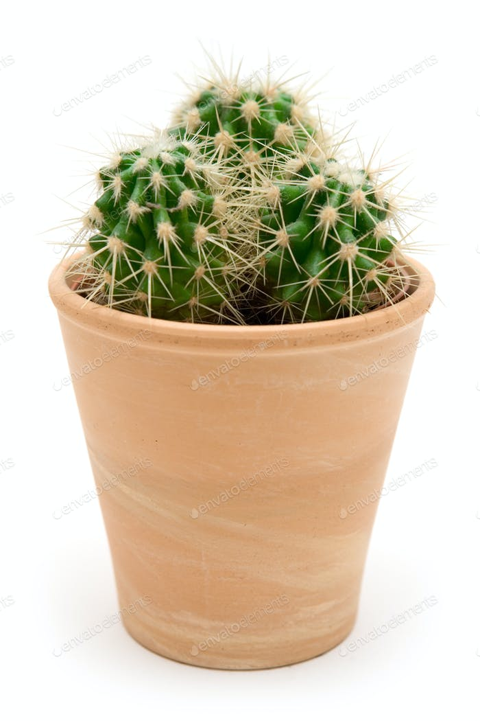 Potted Cactus Isolated on a White Background