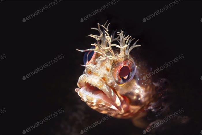 Close up fringe head blenny