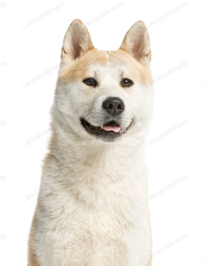 Close-up of an Akita Inu looking away, 2 years old, isolated on white