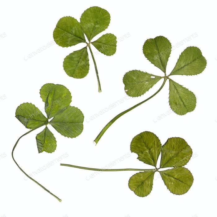 Four four-leaf clovers in front of white background, studio shot