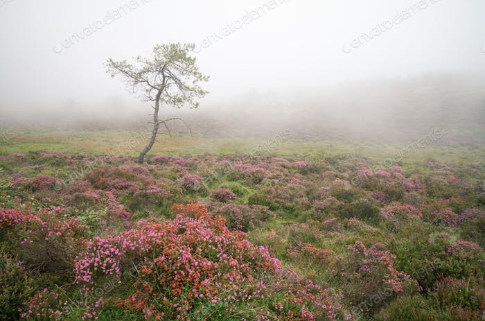 A pine surrounded by flowering heath in the mist