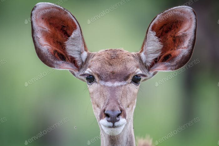 Female Kudu starring at the camera.