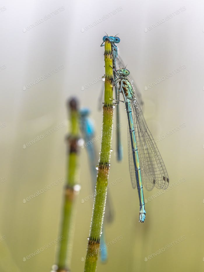 Three damselfly sleeping