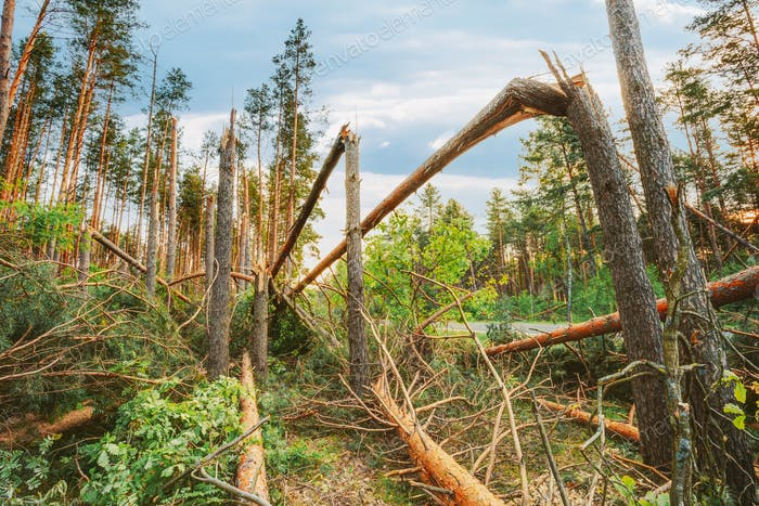 Windfall In Forest. Storm Damage