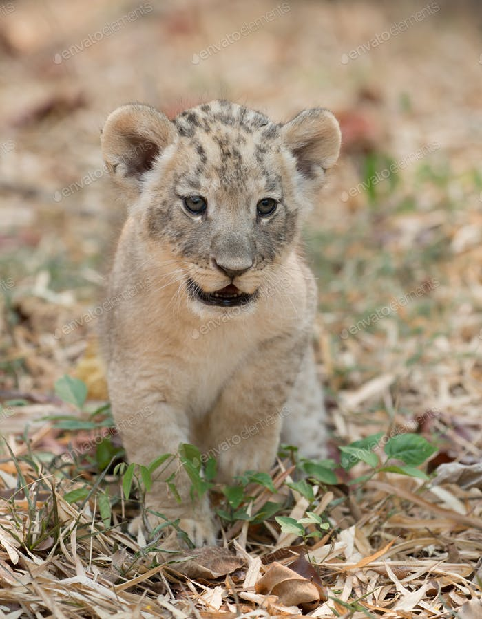 cub of lion