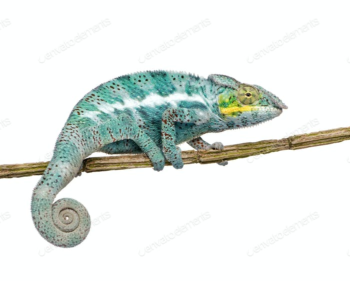 Chameleon Furcifer Pardalis - Nosy Faly (18 months)
