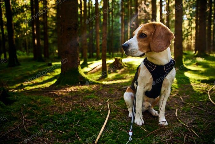 The beagle dog in sunny autumn forest. Alerted hound searching for scent