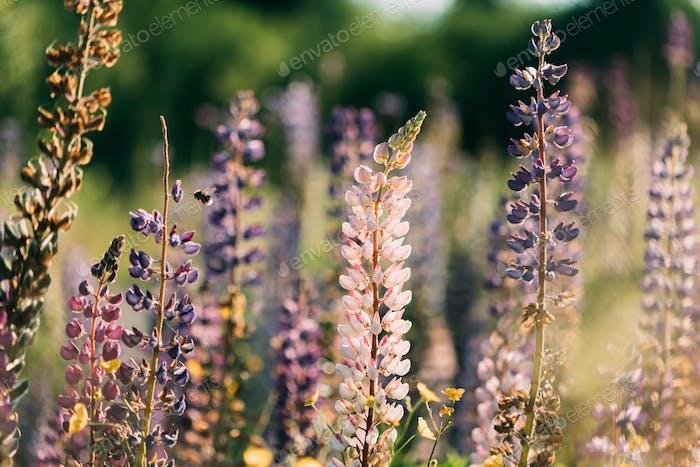 Busch von Wilden Blumen Lupine Im Sommer Feld Wiese Bei Sonnenuntergang Sonnenaufgang. Lupinus, allgemein bekannt als