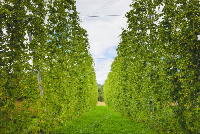 View to green hop field with tied plants.