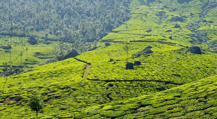 Tea plantations panorama