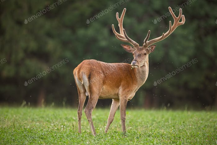 Red deer stag with flies flying around