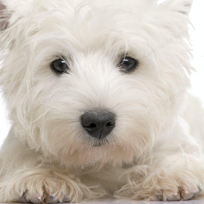 West Highland White Terrier (8 months)