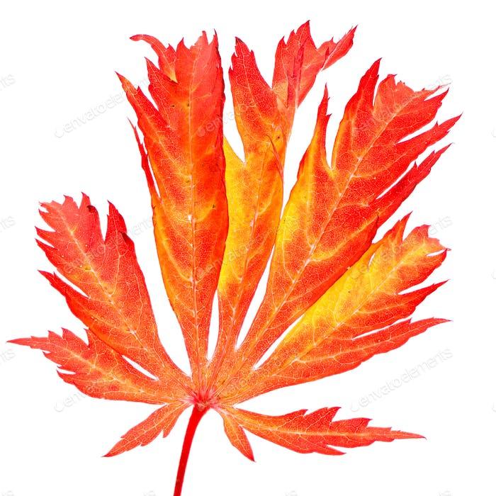 Isoliertes rotes Blatt eines japanischen Ahornbaums