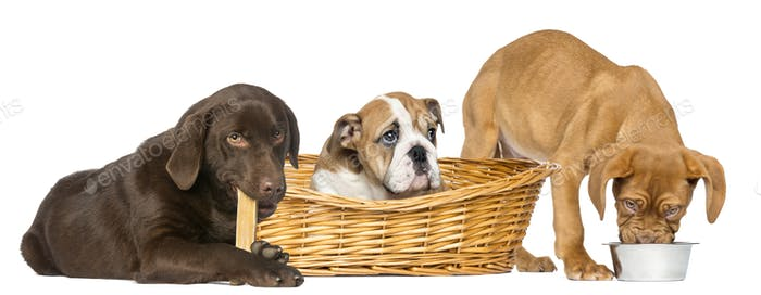 Dogue de Bordeaux eating from a dog bowl, English Bulldog in wicker basket and Labrador Retriever
