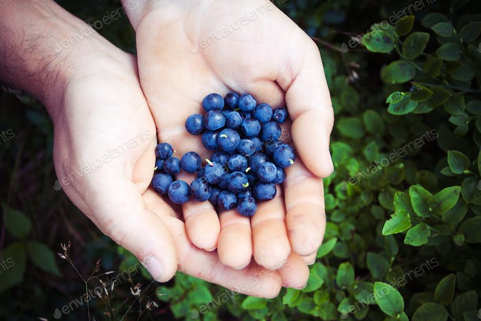 Man with handful of freshly picked organic blueberries