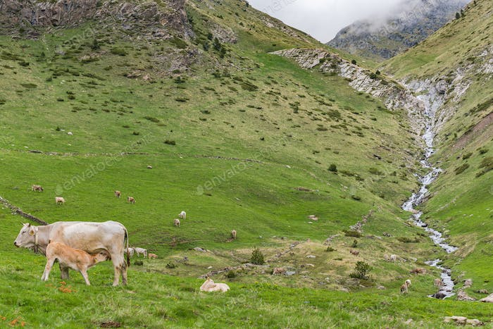 Farming and pasture in Andorra Pyrenees
