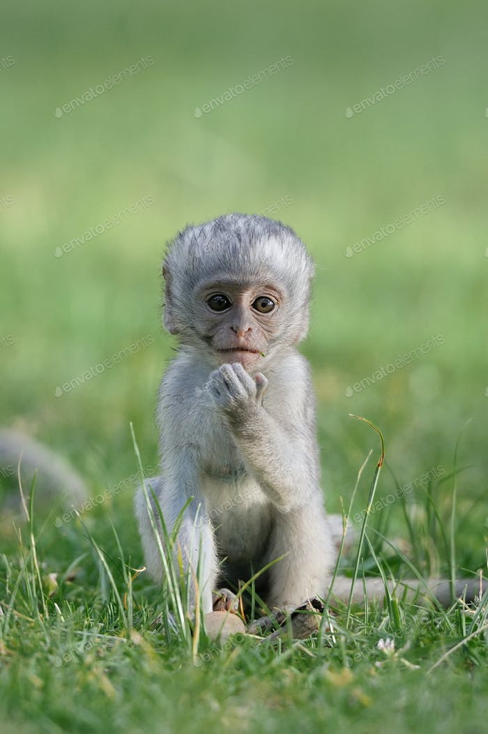 Baby Vervet Monkeys