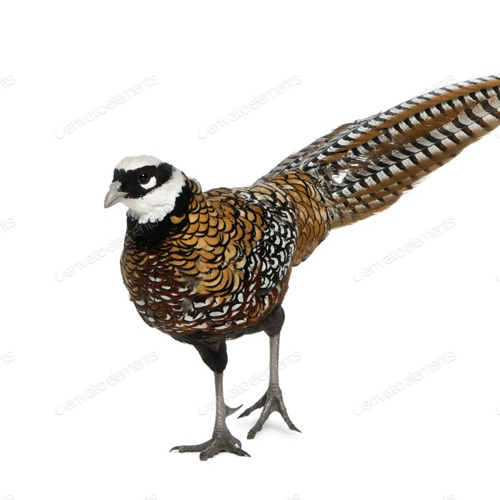 Male Reeves's Pheasant, Syrmaticus reevesii, can grow up to 210 cm long
