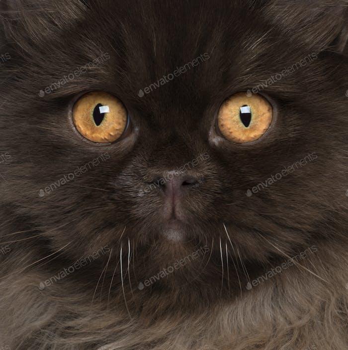 British Longhair (6 months old)