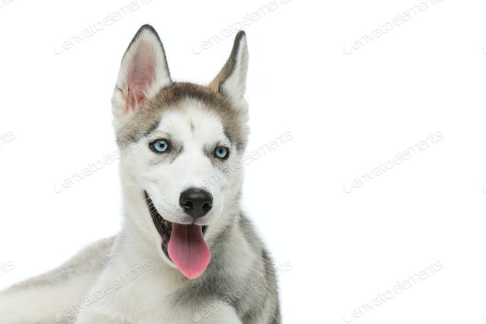 Cute husky puppy dog