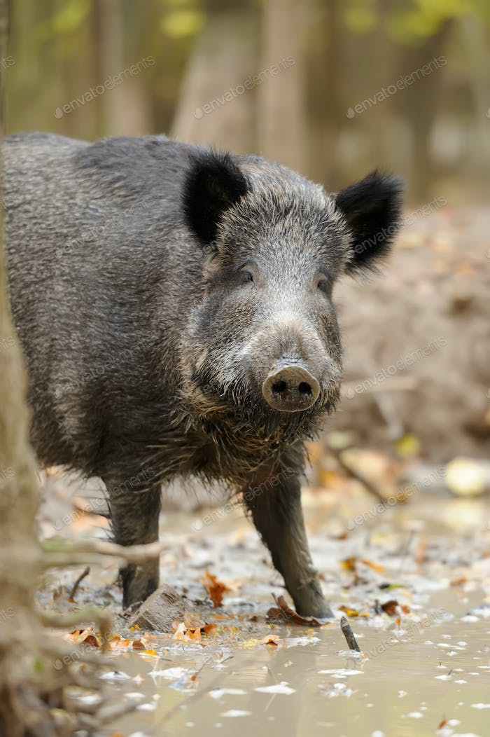 Wild boar in autumn forest