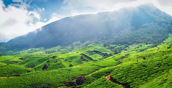 Panorama of green tea plantations