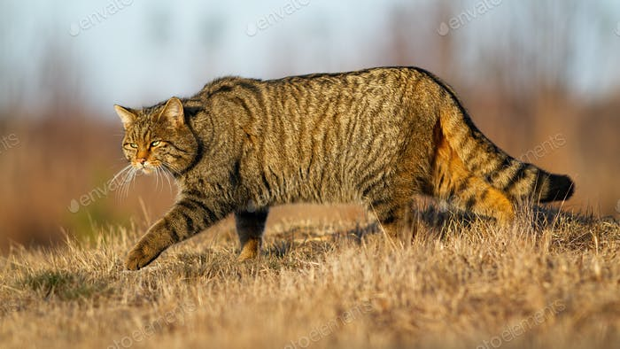 European wildcat walking on meadow in autumn nature