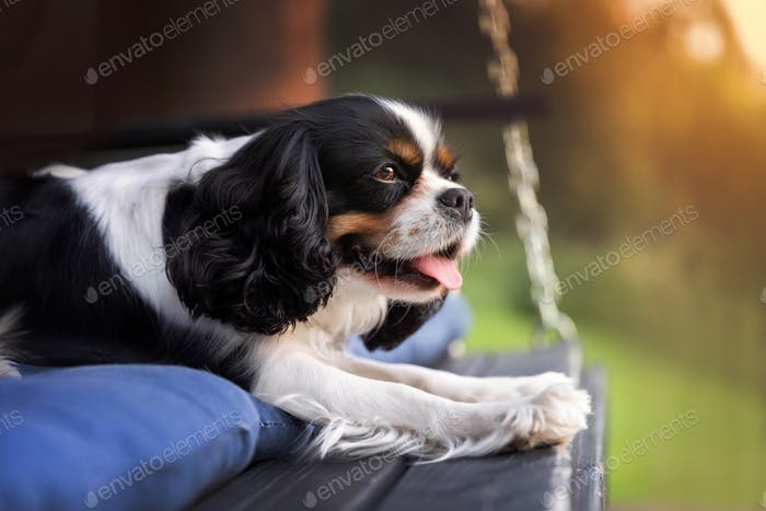 Happy dog relaxing in sunset light