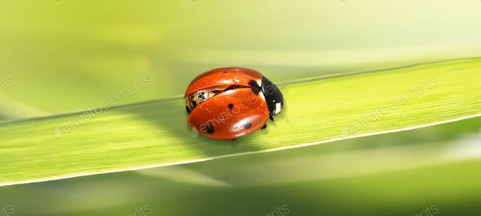 Makro rororoter Marienkäfer auf grünem Gras.