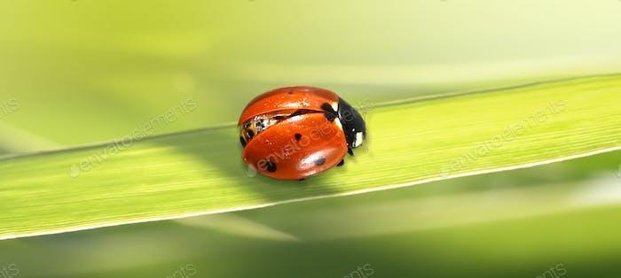 Macro red Ladybug on green grass.