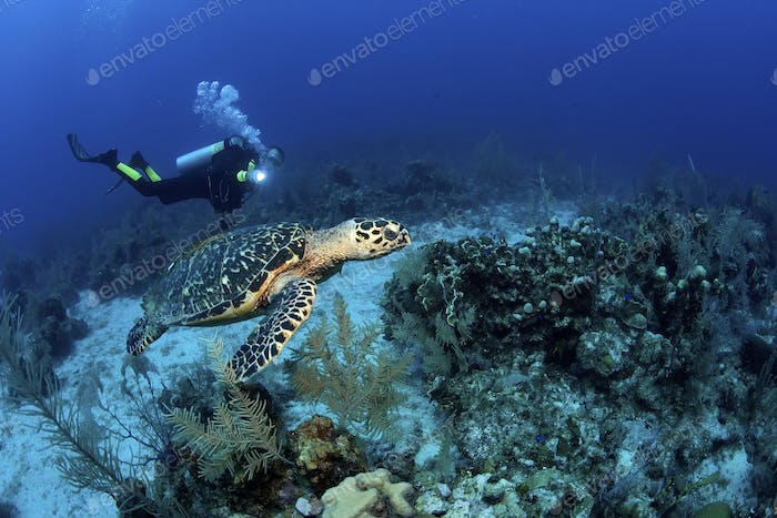 Male scuba diver with dive light swims with hawksbill turtle at dive site known as Leslie's Curl,