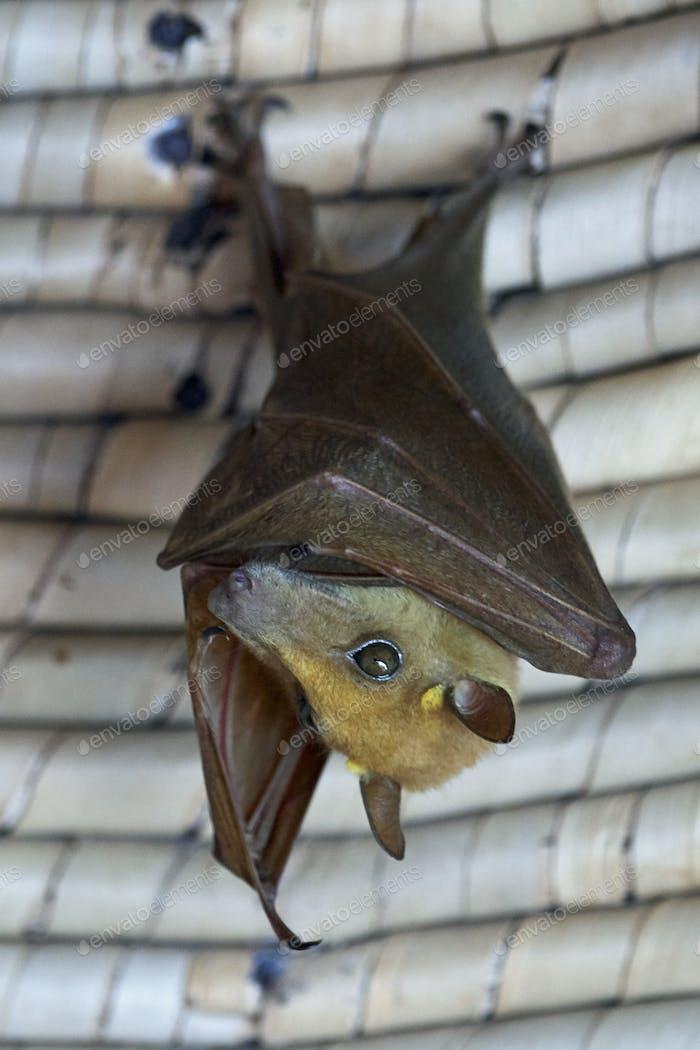 Gambian epauletted fruit bat (Epomophorus gambianus)