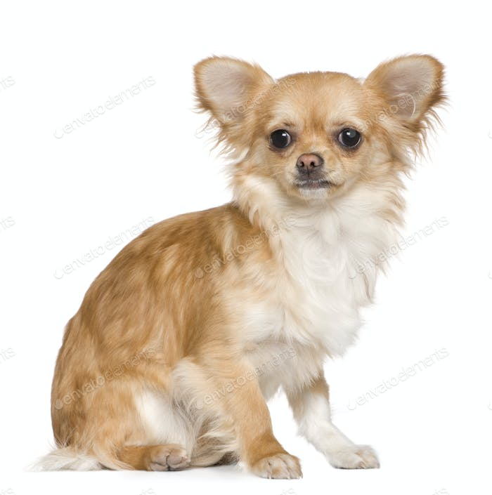 Chihuahua, 8 months old, sitting in front of white background