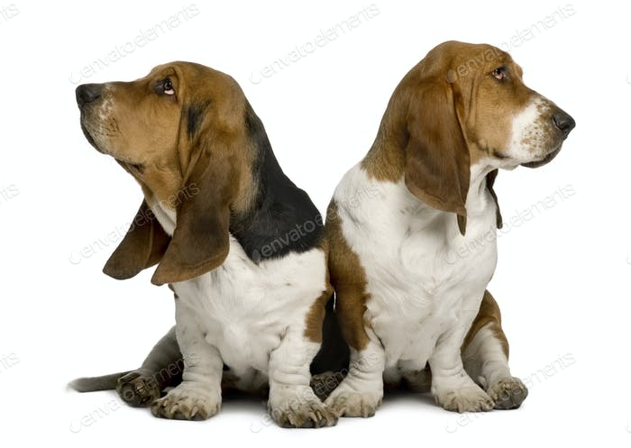 Two sulking Basset Hounds