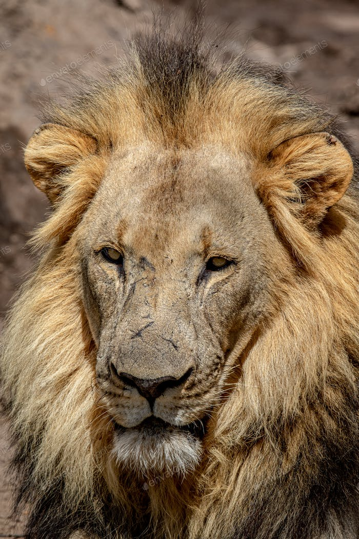 Close up of the face of a big male Lion