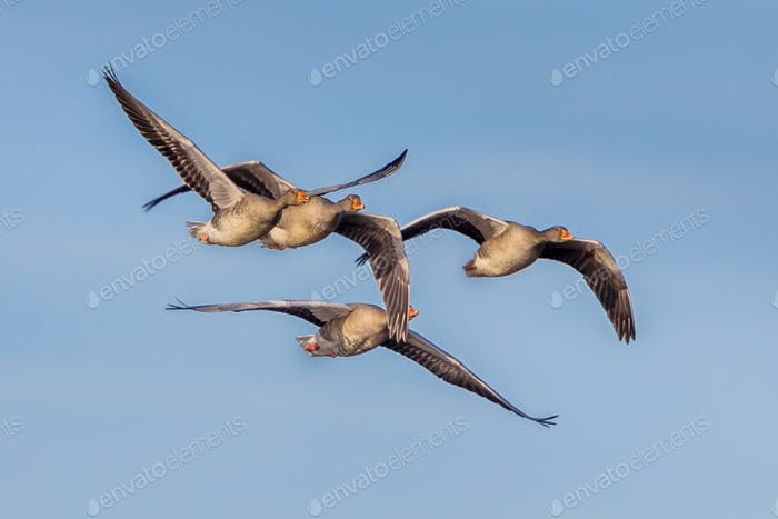 Migrating Greylag Geese