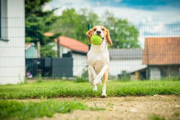 Dog Run Beagle Sprungspaß