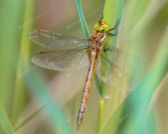 Green eyed hawker resting on  reed background