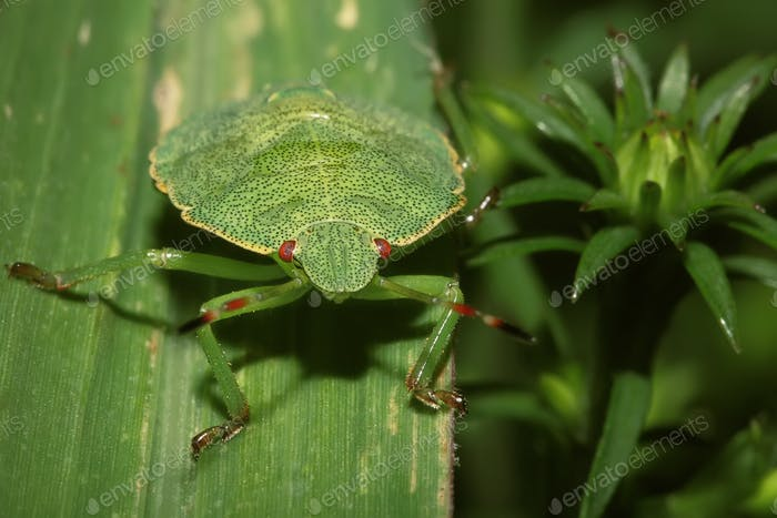 Shield Bug On A leaf