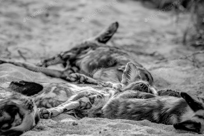 Pack of African wild dogs sleeping in the sand.