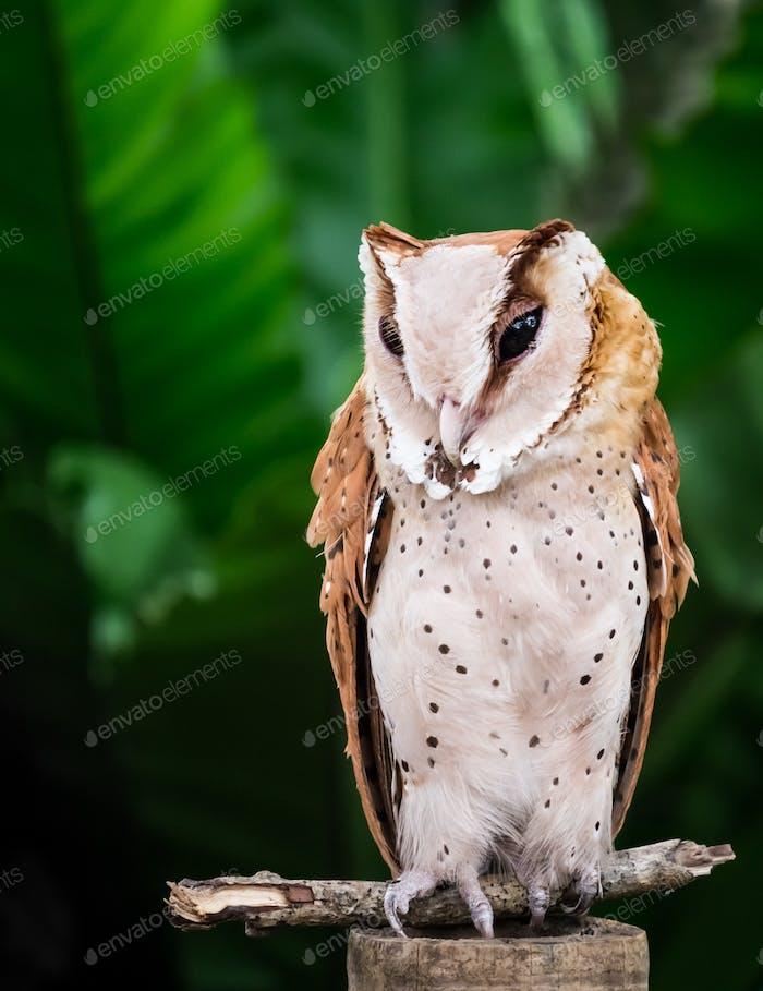 Portrait of an owl