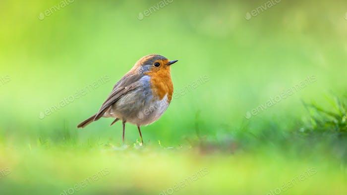 Robin auf leuchtend grünem Hintergrund