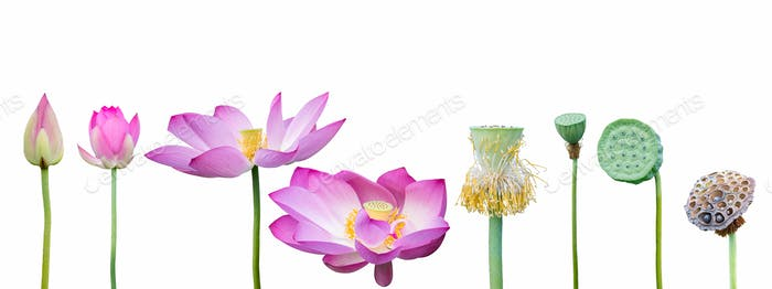 lotus collection isolated on white with clipping path
