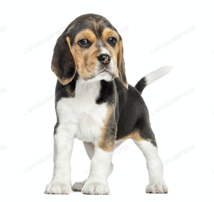 Front view of a Beagle puppy standing, looking at the camera, isolated on white