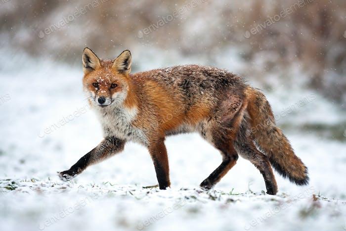 Verletzte rote Fuchs vorbei in einer Polarlandschaft mit Schnee im Winter