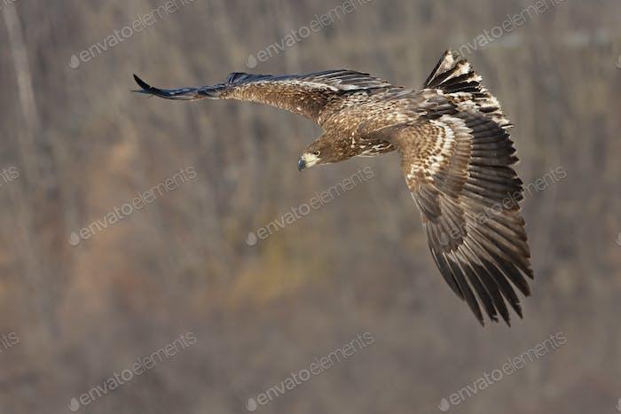 Common buzzard in flight, Hokkaido, Japan