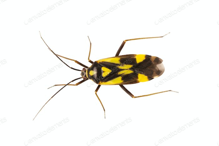 True bug Grypocoris sexguttatus on a white background