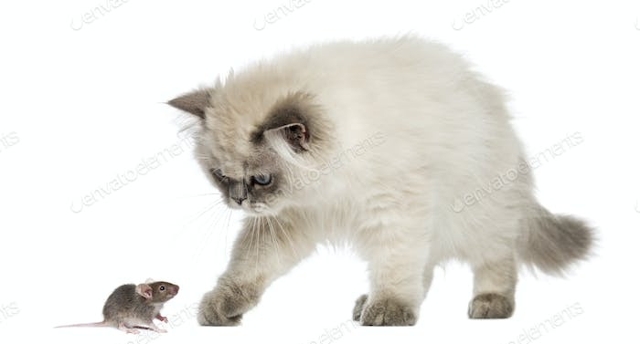 British Longhair kitten reaching at a mouse, isolated on white